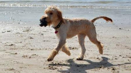 Ted the Goldendoodle Pictures 952535