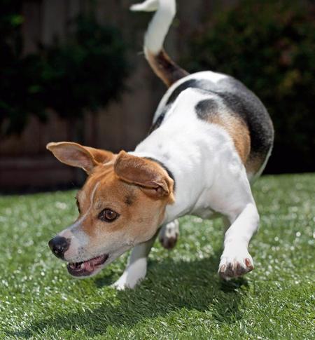 Teddie the Rat Terrier Pictures 422229