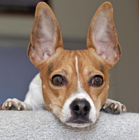 Teddie the Rat Terrier Pictures 422231