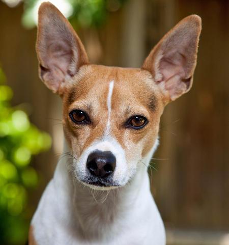 Teddie the Rat Terrier Pictures 422232