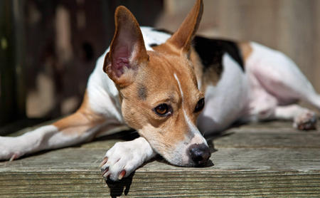 Teddie the Rat Terrier Pictures 422233