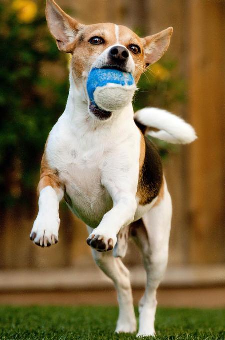 Teddie the Rat Terrier Pictures 422234