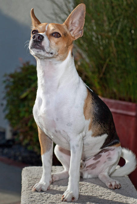 Teddie the Rat Terrier Pictures 422235