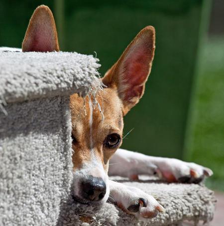 Teddie the Rat Terrier Pictures 422236