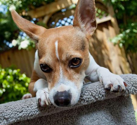 Teddie the Rat Terrier Pictures 422239