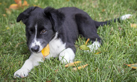 Teddy the Border Collie Mix  Pictures 992042