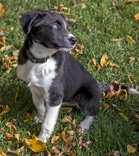 Teddy the Border Collie Mix  Pictures 992045