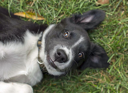 Teddy the Border Collie Mix  Pictures 992041