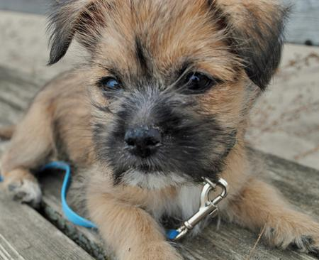 Teddy the Cairn Terrier Mix | Puppies | Daily Puppy