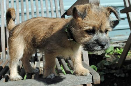 Teddy the Cairn Terrier Mix Pictures 579087