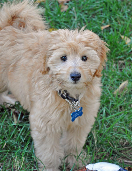 Teddy the Goldendoodle Pictures 1042575