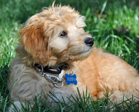 Teddy the Goldendoodle Pictures 1042576