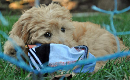 Teddy the Goldendoodle Pictures 925412