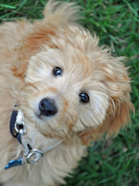 Teddy the Goldendoodle Pictures 1042578