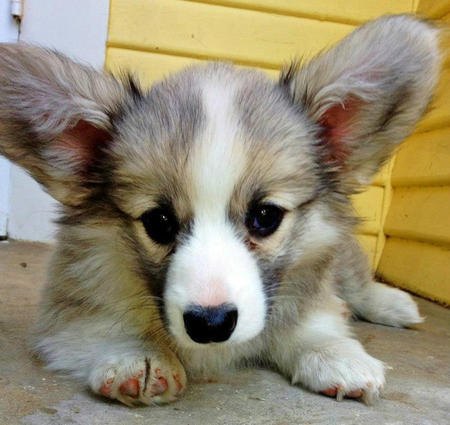 Tegan the Pembroke Welsh Corgi Pictures 933542