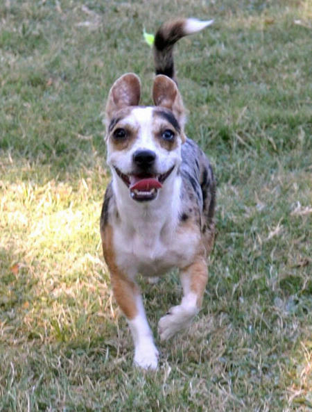 Tesla the Chihuahua Mix Pictures 981457