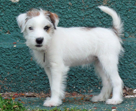 Tessie the Jack Russell Terrier Pictures 445090