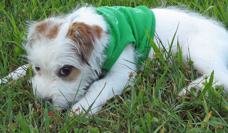 Tessie the Jack Russell Terrier Pictures 445091