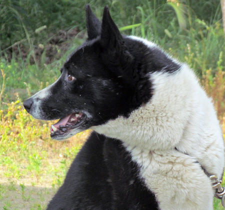 Texas the Karelian Bear Dog Pictures 920318