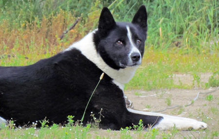 Texas the Karelian Bear Dog Pictures 920320