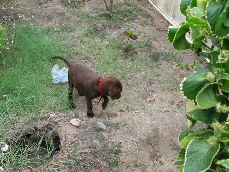 Thangu the Labrador Retriever Pictures 1012591