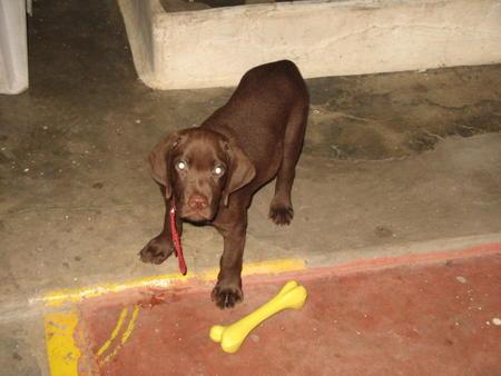 Thangu the Labrador Retriever Pictures 1012592