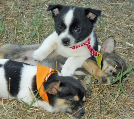 The Adoptable Chihuahua Mix Puppies Pictures 653330