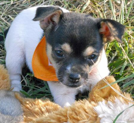 The Adoptable Chihuahua Mix Puppies Pictures 653323