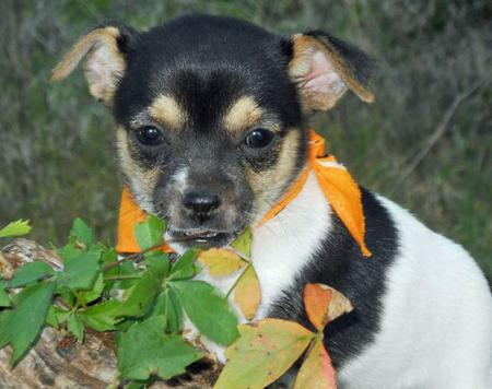The Adoptable Chihuahua Mix Puppies Pictures 653319