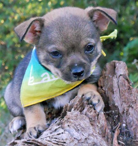 The Adoptable Chihuahua Mix Puppies Pictures 653325
