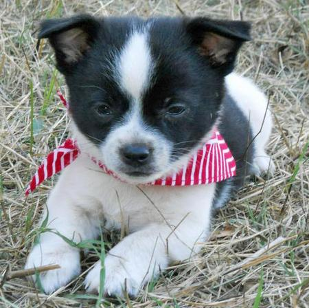 The Adoptable Chihuahua Mix Puppies Pictures 653328