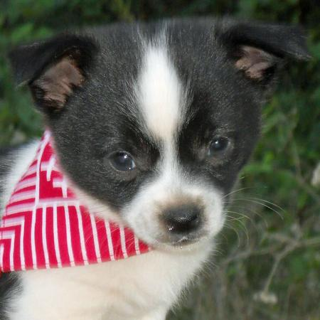 The Adoptable Chihuahua Mix Puppies Pictures 653329