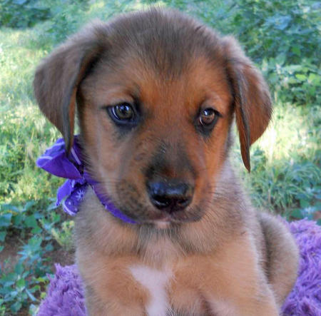 The Adoptable Collie Mix Puppies Pictures 598247