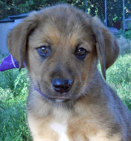 The Adoptable Collie Mix Puppies Pictures 598249