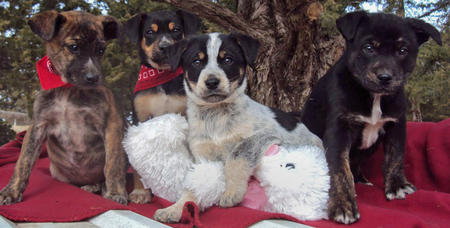The Adoptable Coonhound Mix Puppies Pictures 537476