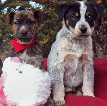 The Adoptable Coonhound Mix Puppies Pictures 537478