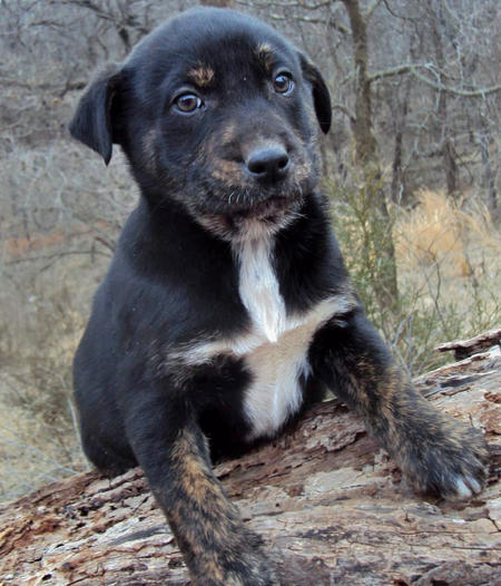 The Adoptable Coonhound Mix Puppies | Puppies | Daily Puppy