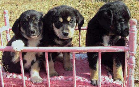 The Adoptable Pyrenees Mix Puppies Pictures 523502