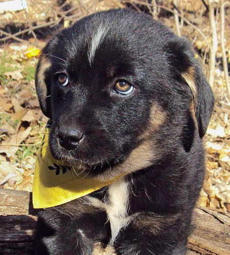 The Adoptable Pyrenees Mix Puppies Pictures 523503