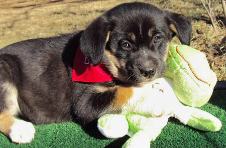 The Adoptable Pyrenees Mix Puppies Pictures 523504