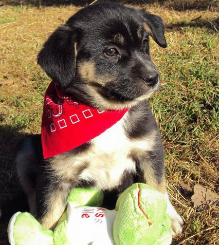 The Adoptable Pyrenees Mix Puppies Pictures 523505