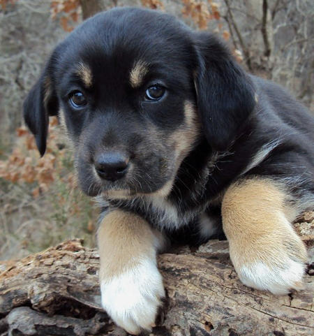 The Adoptable Pyrenees Mix Puppies | Puppies | Daily Puppy