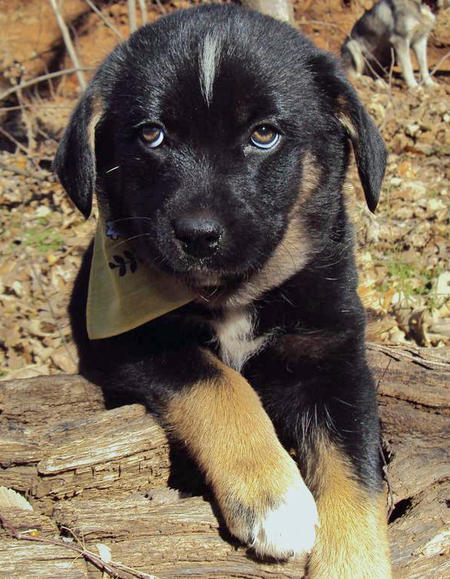 The Adoptable Pyrenees Mix Puppies Pictures 523507