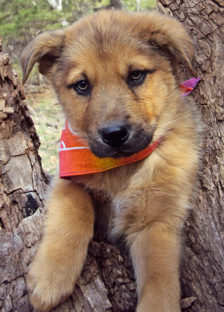 The Adoptable Shepherd Mix Puppies Pictures 556840