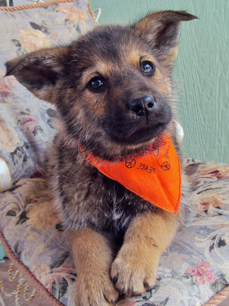 The Adoptable Shepherd Mix Puppies Pictures 555453