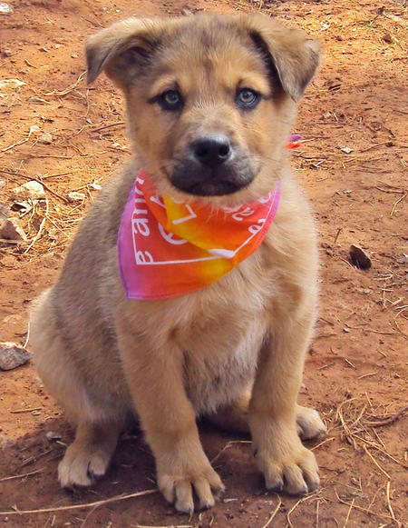 The Adoptable Shepherd Mix Puppies Pictures 556842