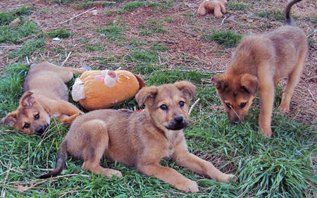The Adoptable Shepherd Mix Puppies Pictures 556845