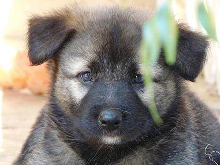 The Adoptable Shepherd Puppies Pictures 428167