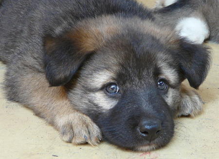 The Adoptable Shepherd Puppies Pictures 428170