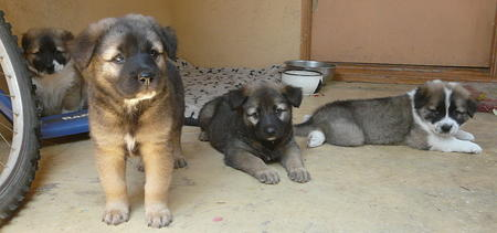 The Adoptable Shepherd Puppies Pictures 428172